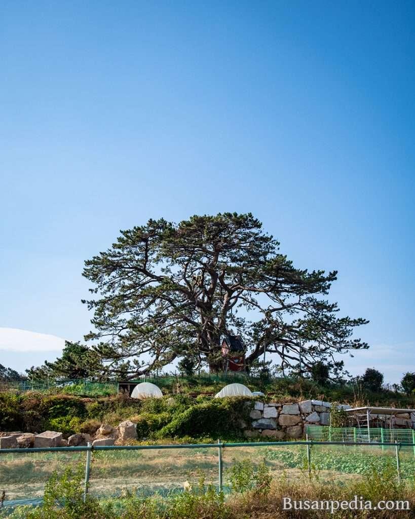 Gijang Jukseongri Haesong, black pines, in Busan